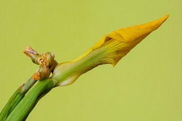Iris jaune sur Kok and Kok