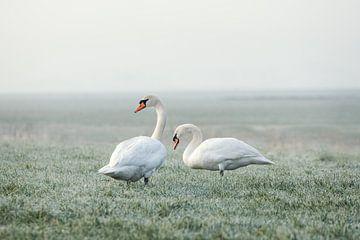 Twee zwanen op een vroege winterochtend