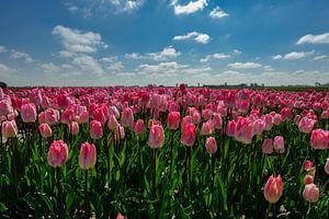 Bollenstreek - roze tulpen - Nederland