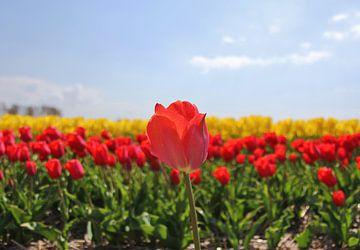 Rode Tulp van Leendert van Rossum