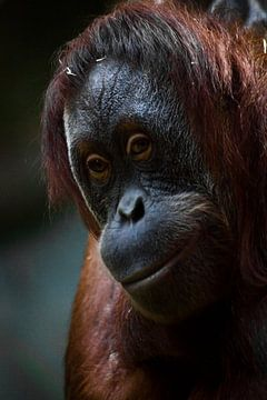 Un orang-outan malin, visage avec des cheveux roux en gros plan. sur Michael Semenov