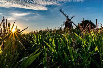 Dans le champ de maïs sur Jens Sessler