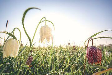 Ochtend zonnestralen in een kievits bloemenveld van Fotografiecor .nl