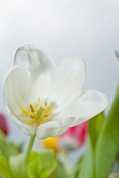 Weisse Blumen Tulpe von Martin Steiner