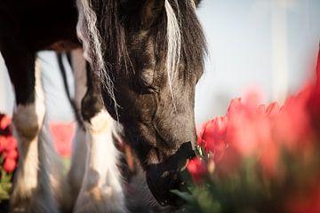 Cheval de fermier entre les tulipes sur Daliyah BenHaim