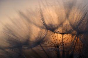 Sunrise behind dandelion von Astrid Brouwers