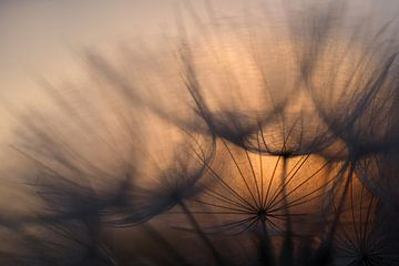 Sunrise behind dandelion sur Astrid Brouwers