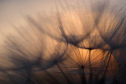 Sunrise behind dandelion von