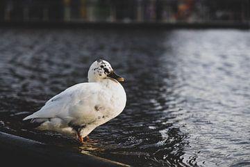 Holländische Ente am Wasser von Manon Moller Fotografie