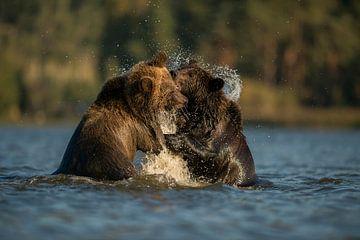 European Brown Bears *Ursus arctos* van wunderbare Erde
