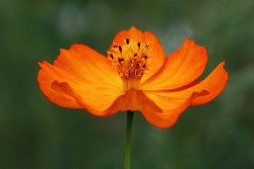 Elegante Cosmea Sunrise bloem