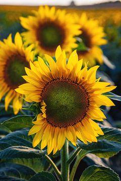 Sonnenblumenfeld von Steffen Gierok