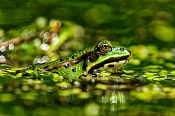 groene kikker  von Peter Laarakker