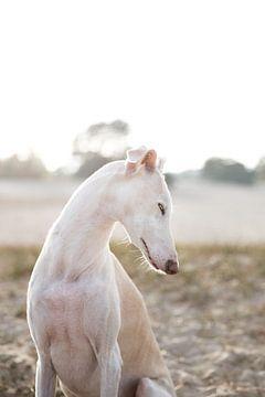 Windhond Lisa van Janine Bekker Photography