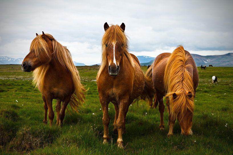 Icelandic Horses van Arnold van Wijk