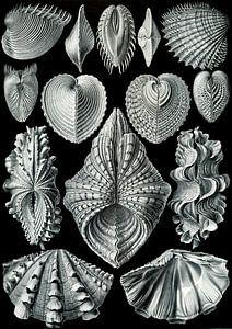 Acephala - Ernst Haeckel