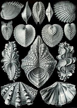 Acephala - Ernst Haeckel van Het Archief