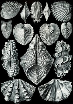 Acephalae - Ernst Haeckel