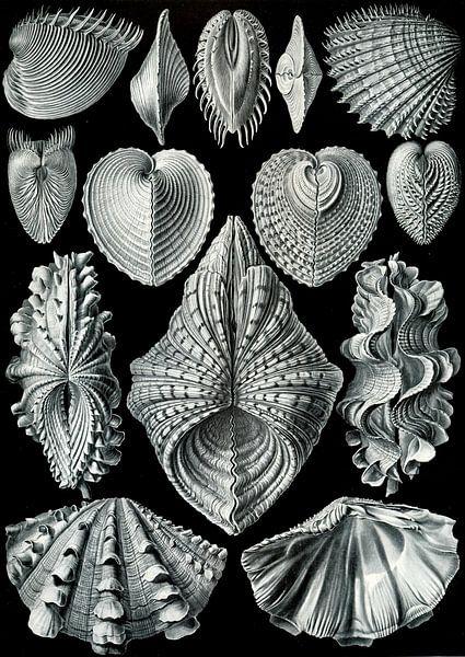 Acephalae - Ernst Haeckel von Het Archief