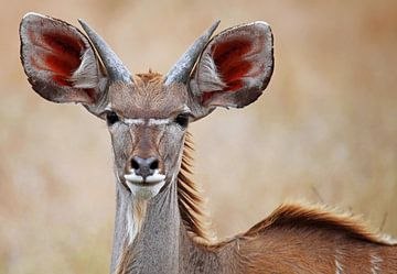 Kudu - Africa wildlife sur W. Woyke