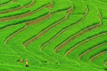 Vietnamesische Frau auf dem Reisgebiet von Richard van der Woude