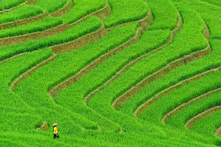 Vietnamese vrouw in het rijstveld