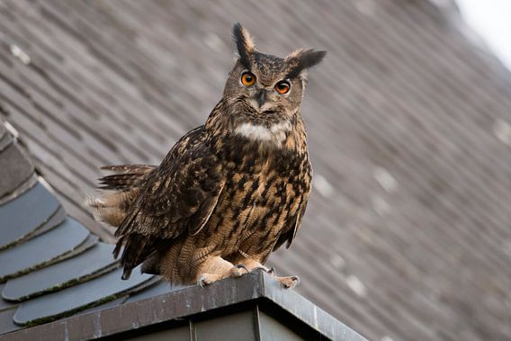 Eurasian Eagle Owl ( Bubo bubo ) perched on top of a roof