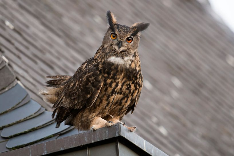 Eurasian Eagle Owl ( Bubo bubo ) perched on top of a roof van wunderbare Erde