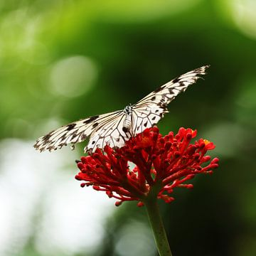 Vlinder sur Hendrik Seip