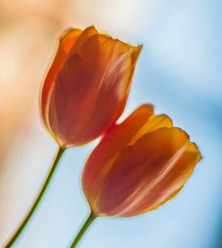 tulpen von Hans de Rooij