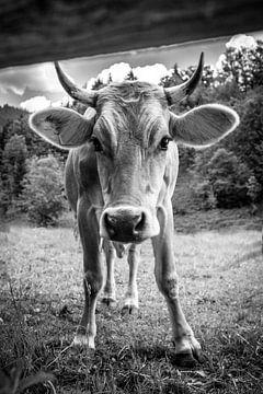 Neugierige Kuh von kuh-bilder.de