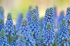 Blauwe druifjes (Muscari botryoides)
