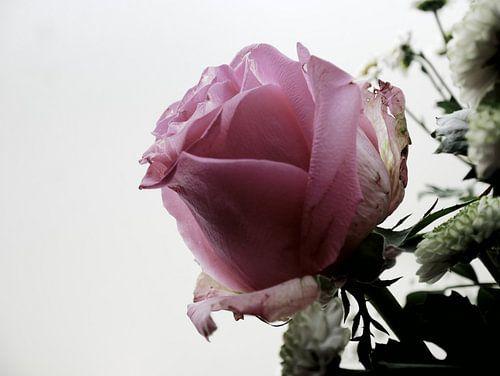Roze Roos tegen lichte achtergrond