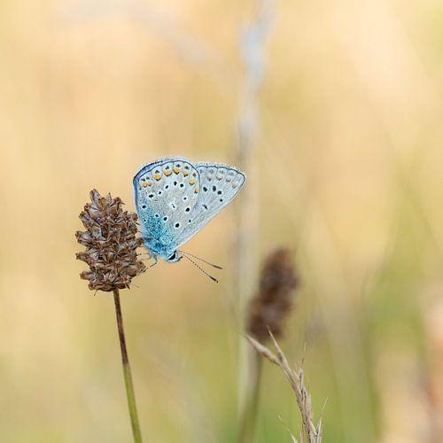 Blauwtje op grote pimpernel