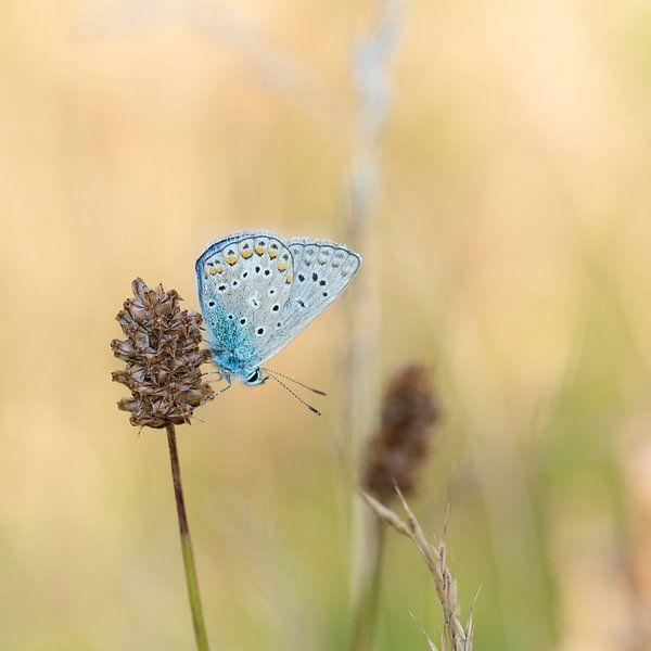 Blauwtje op grote pimpernel van Martin Bredewold