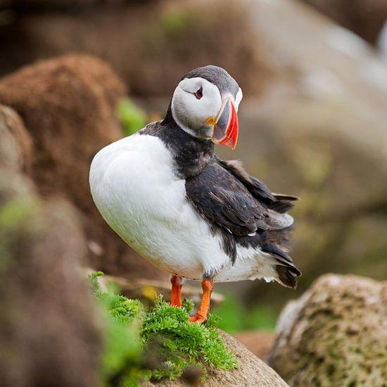 Papegaaiduiker net geland op een rots