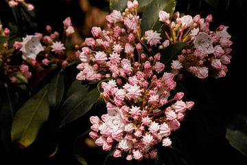 Die Kalmia von Fleurien