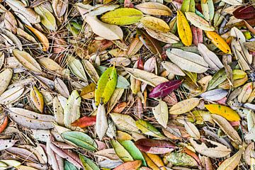 Pohutukawa bladeren in de herfst van Sebastian Schuster