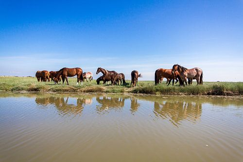 Paarden op de Boschplaat van