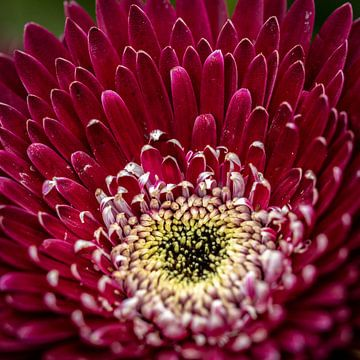 Rote Blume von Anouk Snijders