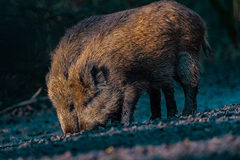 Wildschweinbrüder von bryan van willigen