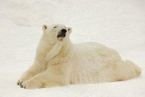 Ein schöner und zufriedener großer arktischer Eisbär ruht (liegt) im Winter im Schnee.