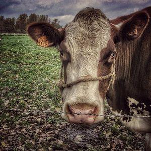 Koe in de wei