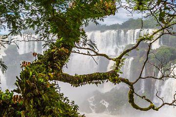Tropische boom bij de Iguazu watervallen van Peter Leenen