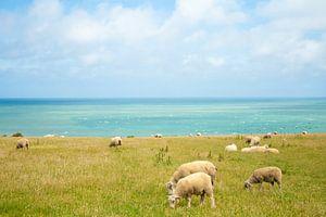 schapen met zicht op zee