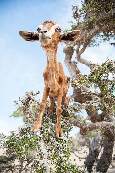 Trotse klimgeit in een boom in Marokko