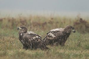 White-tailed Eagles ( Haliaeetus albicilla ), two young, sitting in natural grassland