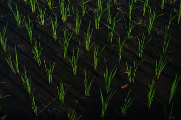 Rijstveld op Bali van Ellis Peeters