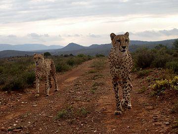 Cheetah's op jacht van Roos Vogelzang
