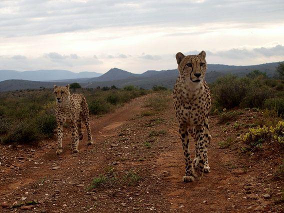 Cheetah's op jacht